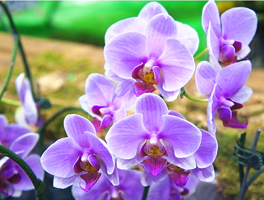 free-shipping-Phalaenopsis-seeds-flower-seeds-font-b-cattleya-b-font-flower-phalaenopsis-butterfly-orchid-seeds